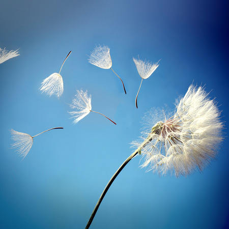 青色の背景に飛ぶタンポポの種 写真素材