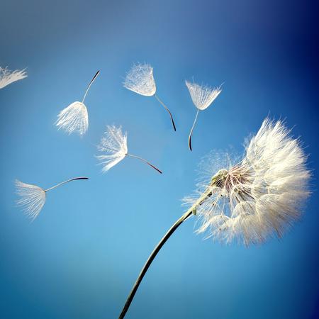 파란색 배경에 민들레 씨앗 비행