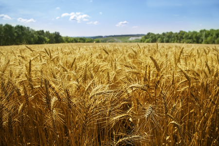 idealistic: idealistic summer landscape with wheat field