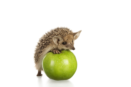 hedgehog: hedgehog on green apple isolate on white Stock Photo