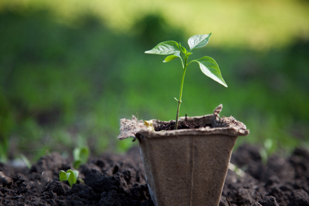 soil conservation: sprout in peat pot outdoors