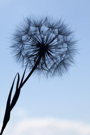 silhouette fleur: Dandelion silhouette fleur floconneux sur un coucher de soleil ciel bleu