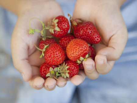 handful of strawberries in the hands of the boy