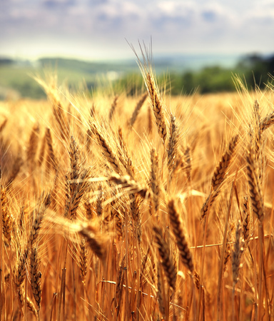 focus on foreground: Field of ripe wheat on a clear sunny day Stock Photo