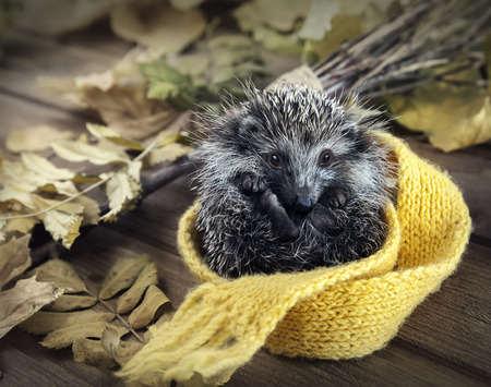 deployed: Young hedgehog rolled into a ball deployed scarf in autumn leaves on the wooden floor