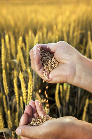 wheat in the hands of men on the background of field Stock Photo