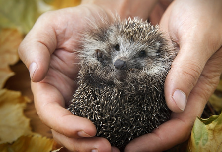 hedgehog: charming hedgehog in male hands on a background of autumn leaves