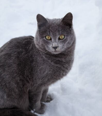 chartreuse: British cat in the snow in the winter
