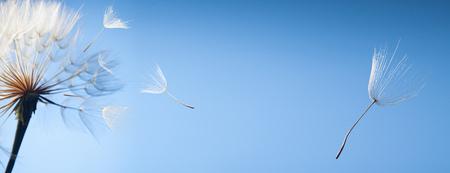 latające nasiona mniszka lekarskiego na niebieskim tle Zdjęcie Seryjne