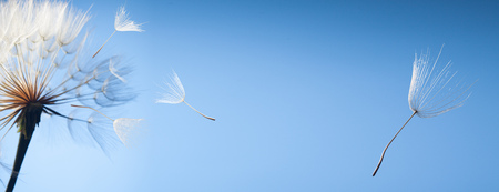 vliegen paardenbloem zaden op een blauwe achtergrond