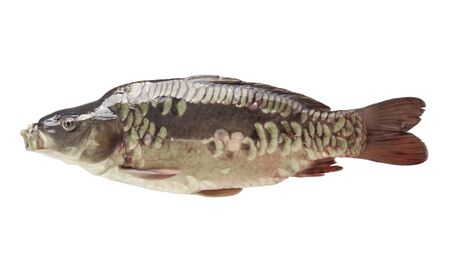 cypriniformes: Fresh fish carp on a white isolated Stock Photo