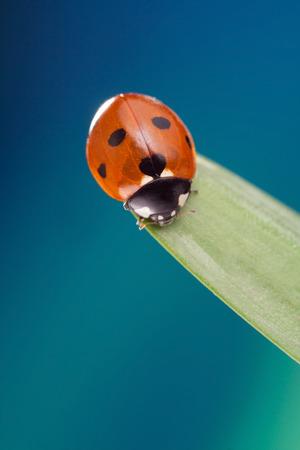 spring leaf: red ladybug on green leaf, ladybird creeps on stem of plant in spring in garden in summer