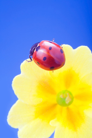 yellow stem: red ladybug on on yellow flower, ladybird creeps on stem of plant in spring in garden in summer