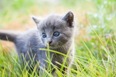 gray: little smoky blue cat in the green summer grass Stock Photo