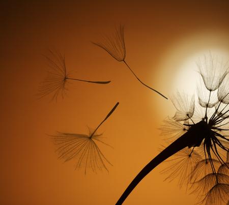 sepals: flying dandelion seeds on a sunset background