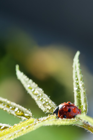 red ladybug on green leaf, ladybird creeps on stem of plant in spring in garden in summer