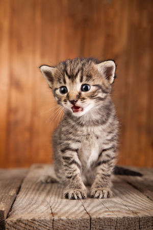 Mewing kitten on background of old wooden boards. Stock Photo