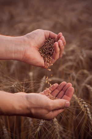 man pours wheat from hand to hand on the background of a wheat field Stock Photo