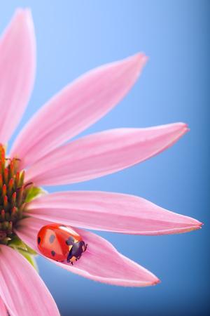 La coccinella rossa sul fiore dell'echinacea, coccinella si insinua sul gambo della pianta in primavera in giardino di estate Archivio Fotografico - 83210490