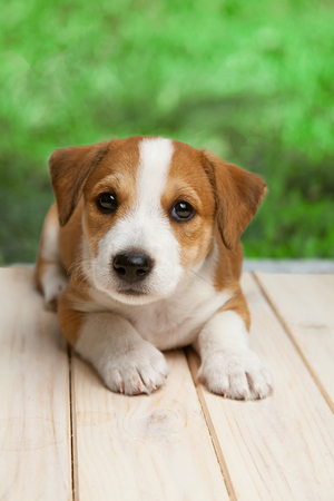 Jack Russell Terrier puppy outdoors lies on wood floor.