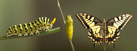 Transformation of common machaon butterfly emerging from cocoon isolated Stok Fotoğraf