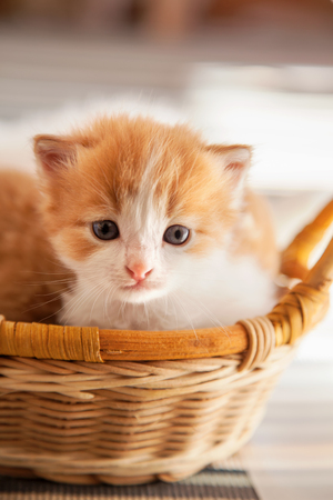 small ginger kitten in the basket in home.