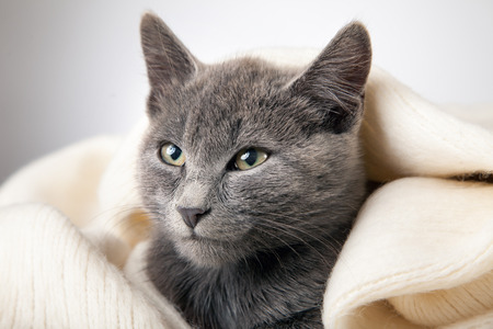 gray kitten wrapped in a blanket, smoky cat in a blanket on a gray background.