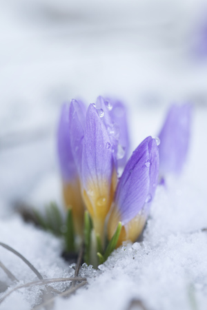 Crocus in the snow-covered garden Stock Photo