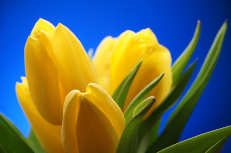 Bunch of yellow Tulip Flowers on blue sky background. Beautiful bouquet. Spring flower
