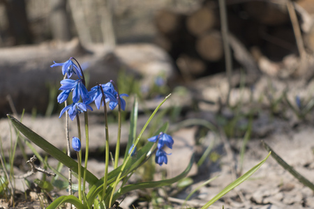 first spring flower, Blue flowers of the Scilla Squill blooming.