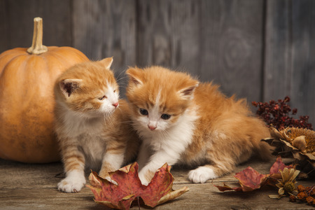 halloween pumpkin jack-o-lantern and ginger kitten on black wood background. Foto de archivo - 106394232