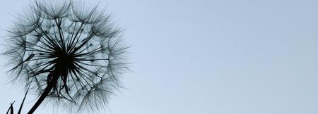 Dandelion silhouette fluffy flower on a blue sunset sky Foto de archivo