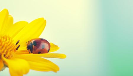 rood lieveheersbeestje op Echinacea-bloem, lieveheersbeestje kruipt op stengel van plant in het voorjaar in de tuin in de zomer