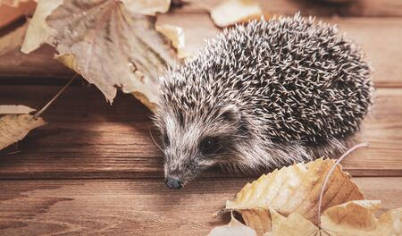 Young hedgehog in autumn leaves on the wooden floor Stockfoto