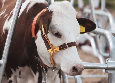 calf lies against the background of the cow stall. Stock Photo