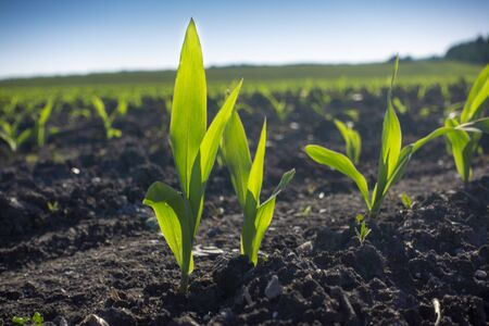 Young Green wheat seedlings growing in a soil field. Close up on sprouting rye agricultural on a field in sunset.
