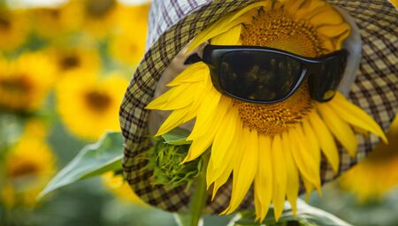 Sunflower Wear A Sunglasses and hat on field background. Summer vacation concept Foto de archivo