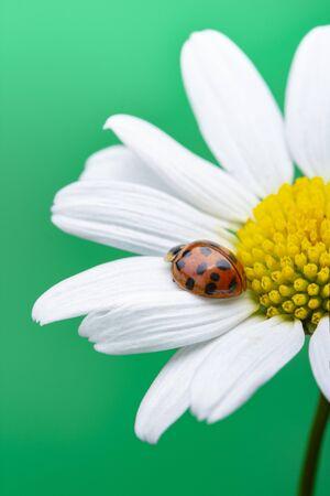 Ladybug on white flower. Coccinella septempunctata