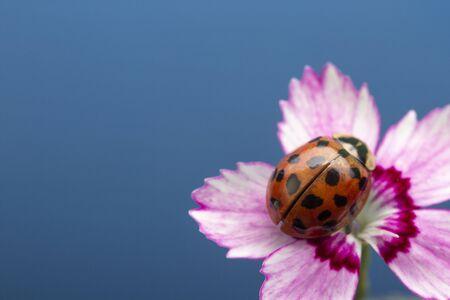 Ladybug on pink flower. Coccinella septempunctata Reklamní fotografie