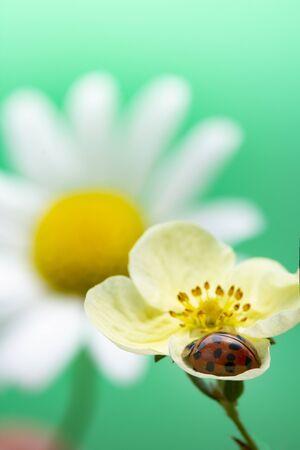 Ladybug on yellow flower. Coccinella septempunctata Reklamní fotografie