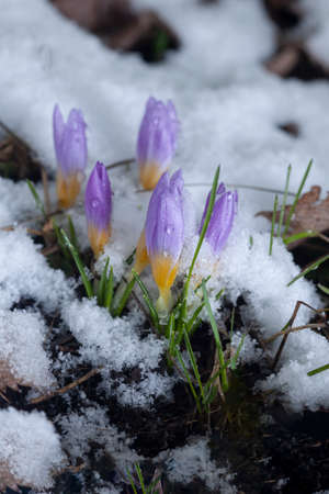 First flower Crocus in the snow-covered garden in snow