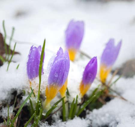 Crocus in the snow covered garden, snowdrop flower.