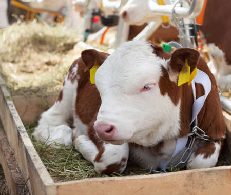 calf lies against the background of the cow stall.