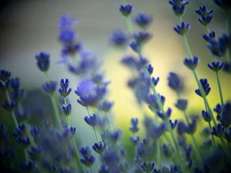Lavender Flowers Field. Standard-Bild
