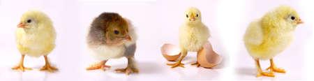 Newborn brown babies chicken standing on egg shells
