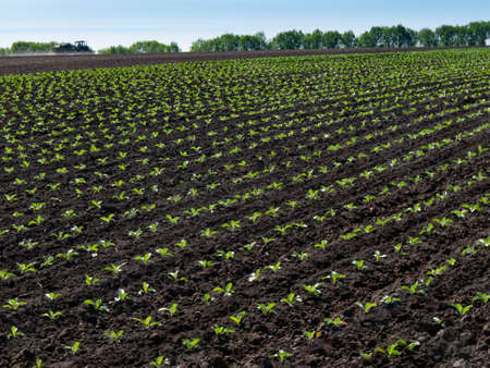 Young seedlings of green cabbage growing in a field of soil. Standard-Bild