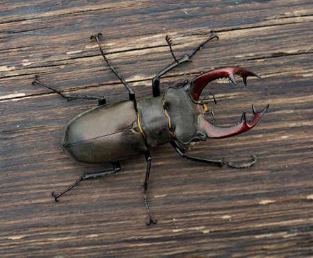 Male stag beetle (Lucanus cervus) on wood background Standard-Bild