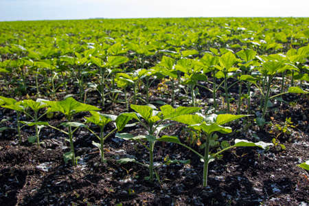 Young Green sunflower seedlings growing in a soil field. Close up on sprouting rye agricultural on a field in sunset.