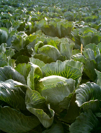 ripe cabbage plantations grow in the Rows of field.