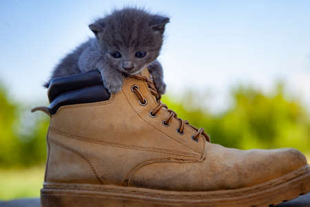 Kitten in the boot, little cat smoky color and blue eyes, in the summer green nature background Standard-Bild